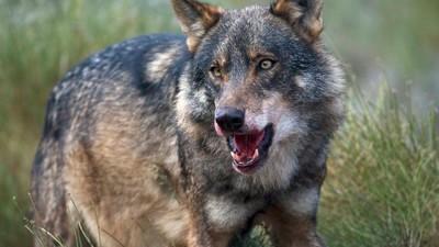 El PSOE y el PP quieren cargarse al lobo ibérico