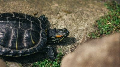 Man Gets Five Years for Stuffing 51 Turtles Down His Pants
