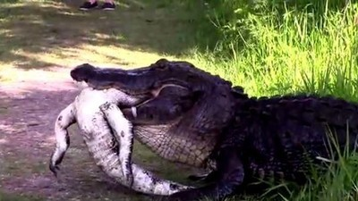 This Video of a Gator Eating Another Gator Is Metal as Hell