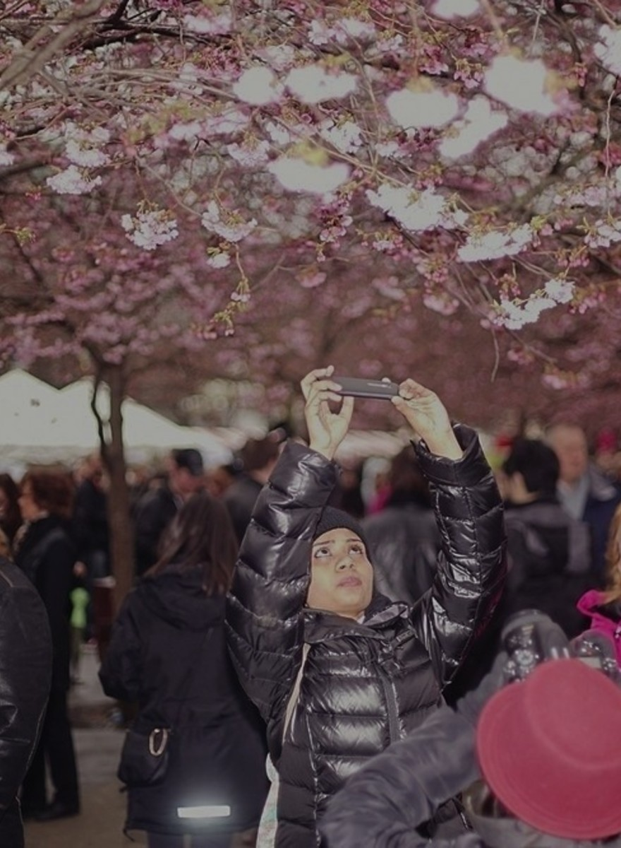 Photos of People Taking Photos of Cherry Blossom in Stockholm
