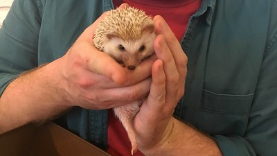 The Hedgehog Café Is Cute but Terrible for Hedgehogs