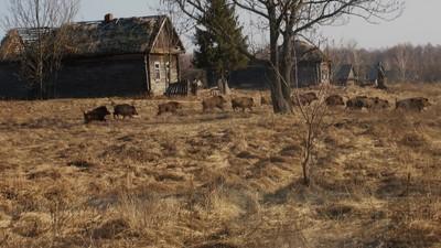 De radioactieve zone van Tsjernobyl is nu een paradijs voor wilde dieren