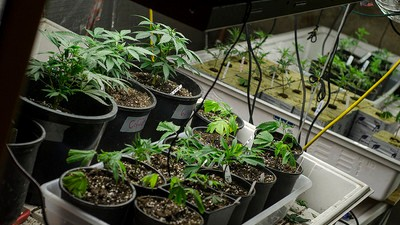 Western Weed Is Taking Over the Pot Market in Florida