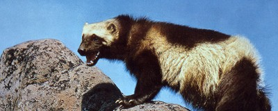 ​These Guys in Alaska Want to Use Wolverines to Find Avalanche Survivors