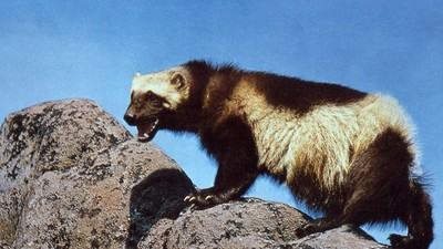 Some Guys in Alaska Want to Train Wolverines to Rescue Avalanche Survivors