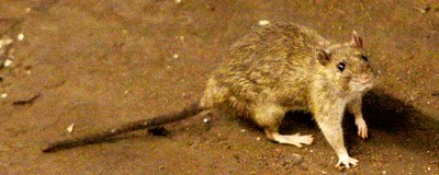 New York Will Never Win Its War Against Rats