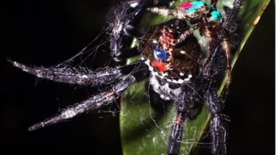 Esta aranha macho faz sexo oral até 100 vezes durante a cópula