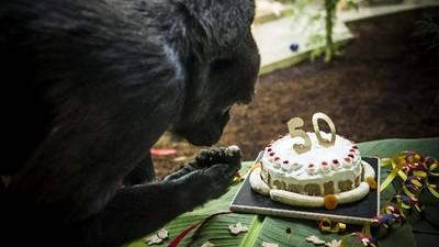 Gorillas komponieren Lieder und singen, wenn sie essen