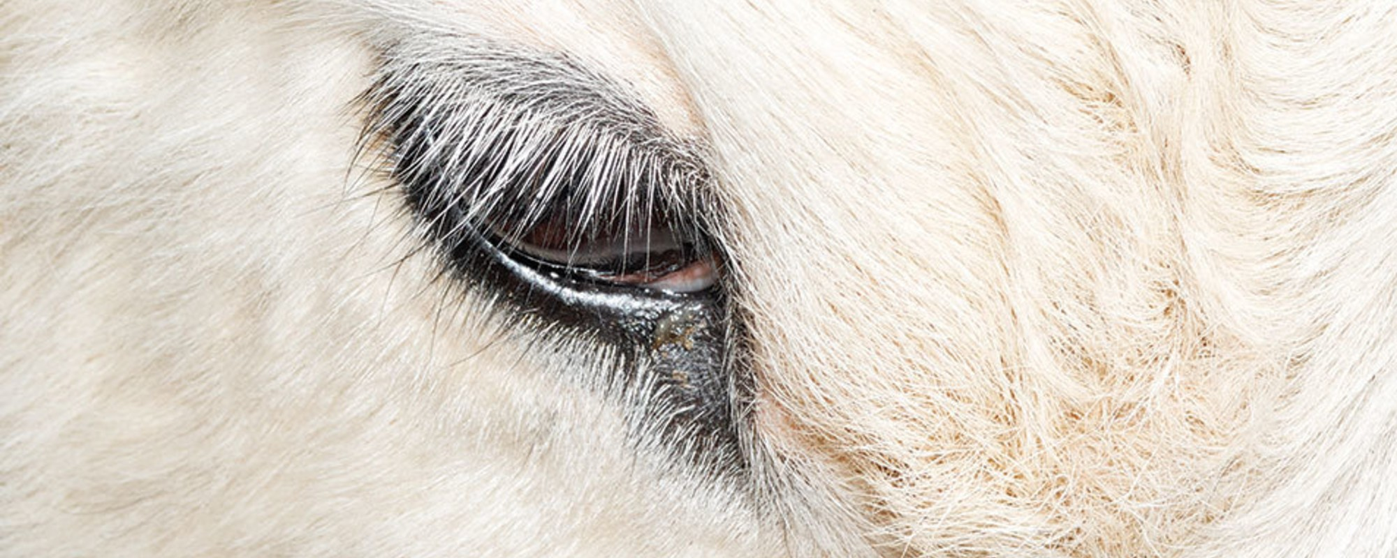 The Holy Cow Issue – Die Geschichte hinter dem Cover