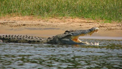 One of Africa's Most Dangerous Predators Is Invading Florida