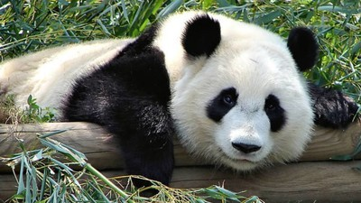 Too Much Bamboo Is Bad for Panda Sex, New Study Says