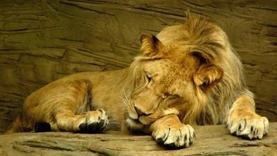 Niedoszły samobójca z Chile rzuca się lwom na pożarcie