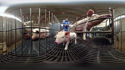 Igualdad Animal muestra la realidad de la ganadería industrial en un vídeo de 360º