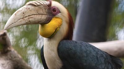 Is de neushoornvogel in Artis de meest vrouwonvriendelijke vogel ooit?