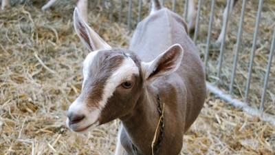 Miles de cabritos mueren para que puedas comer queso de cabra