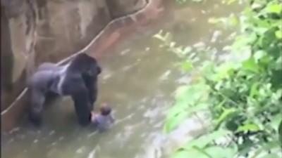 No, i gorilla non sono uguali agli esseri umani