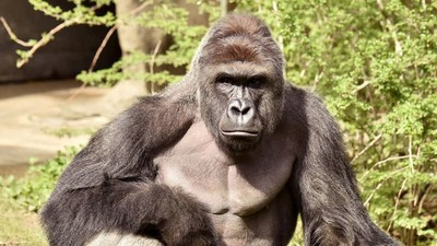 Cincinnati Zoo Could Face Criminal Charges over Gorilla Death