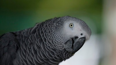 A Murder Victim's Parents Say Cops Should Use a Foul-Mouthed Parrot as a Witness