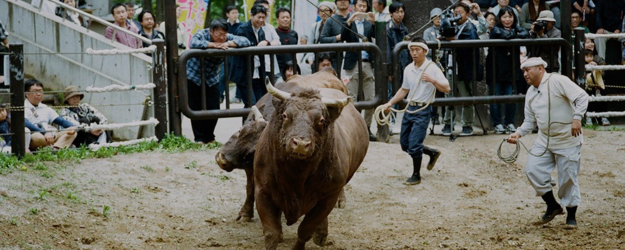 Photos From Japan's Ancient Bullfighting Ritual, Tsunotsuki