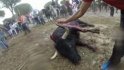 Toro de la Vega: la Junta tumba la petición de Tordesillas para celebrarlo