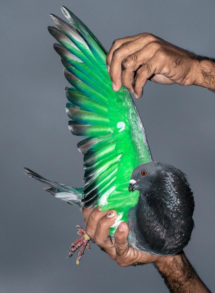 Frumusețea curselor cu porumbei din Cuba