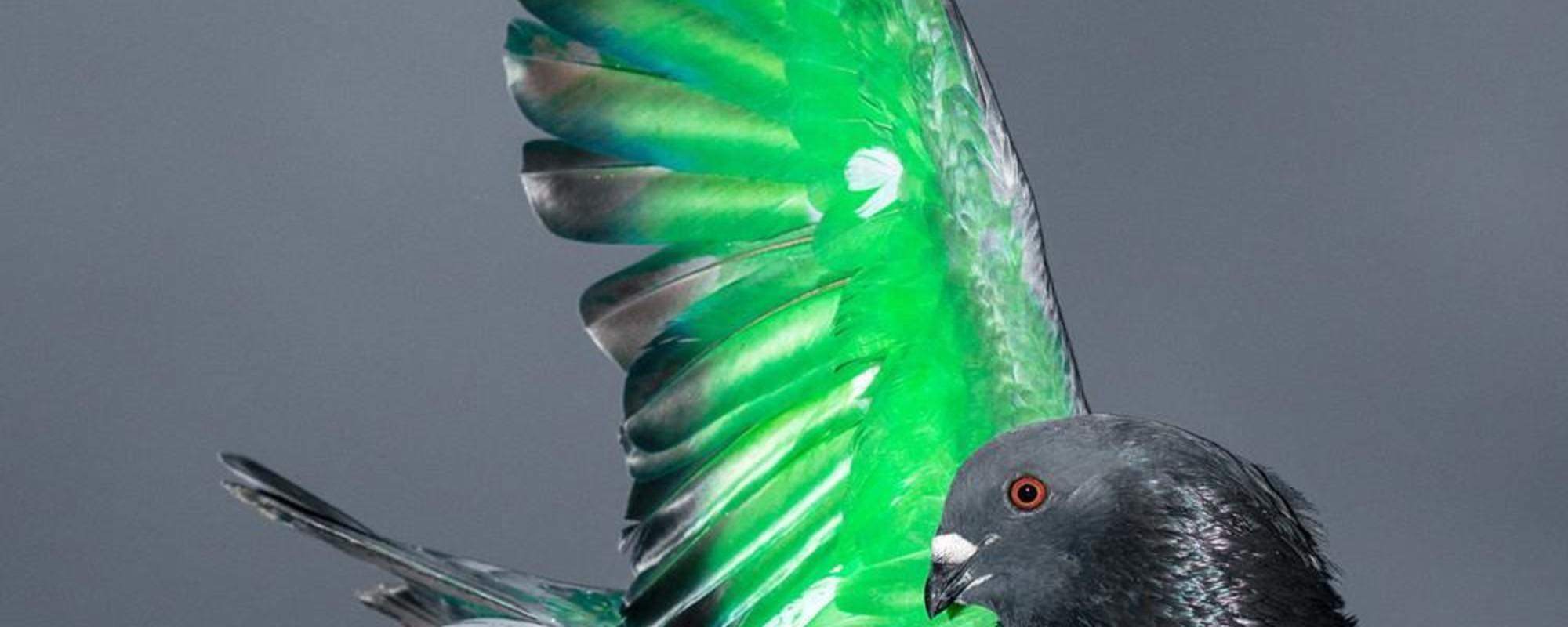 Piękno kubańskich wyścigów gołębi