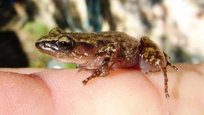 ​This Tiny Endangered Frog Has Halted a Condo Development in Canada