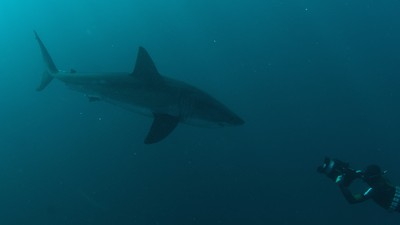 Can Sharks Survive Humans?