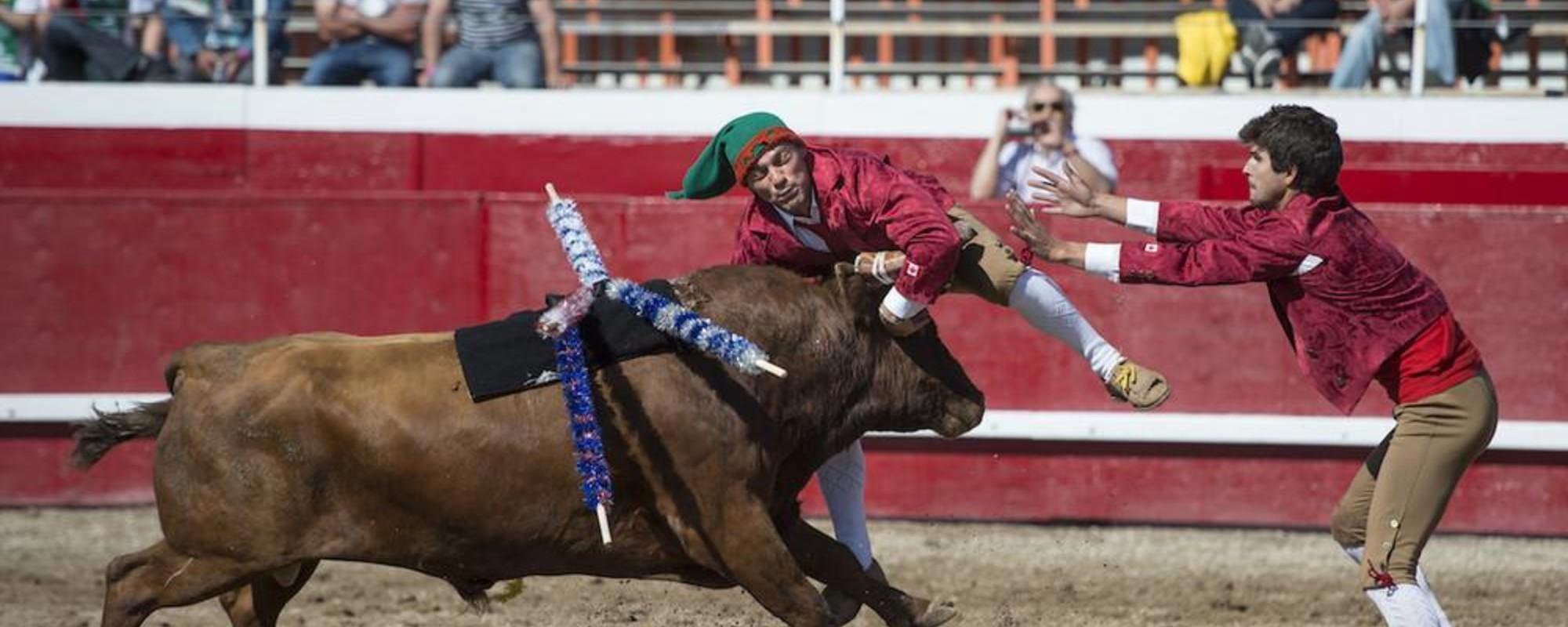 As touradas à portuguesa no Canadá em que os touros não sangram