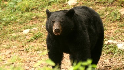 This 61-Year-Old Guy Won a Fist Fight Against an Attacking Black Bear