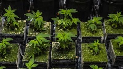 Italiens plan om at legalisere cannabis kan være med til at bekæmpe Islamisk Stat og mafiaen