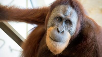 Dieser Orang-Utan fängt gerade an, die menschliche Sprache zu benutzen