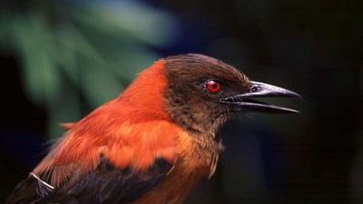 Poisonous Birds in Papua New Guinea and a Very Baffling Story of Evolution