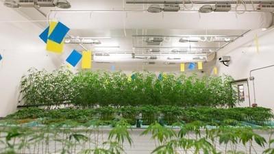 Persino i leghisti sono sempre più favorevoli alla legalizzazione della cannabis