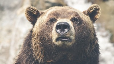 It Is a Shit Time to Be a Bear in Canada