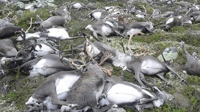 A Very Simple Explanation for How Lightning Killed 323 Reindeer at Once