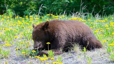 How a Vegan Diet Wiped Out an Entire Species of Bears