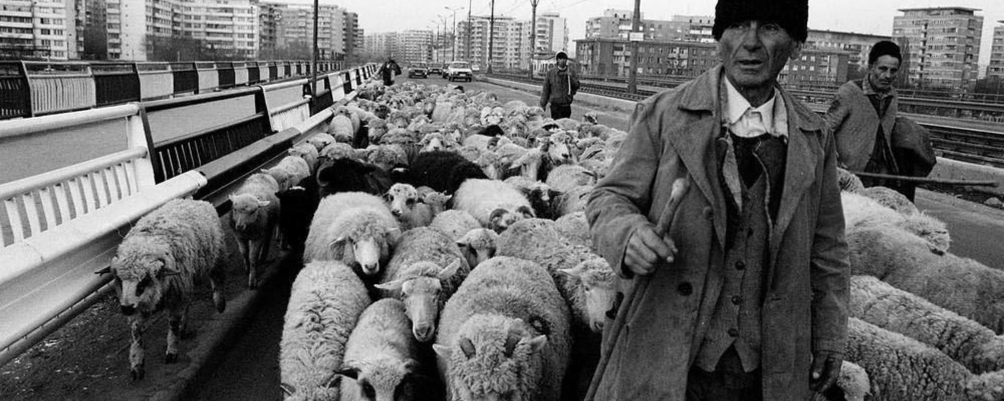 Billeder fra 90'ernes Bukarest, hvor får strejfede rundt på motorvejen