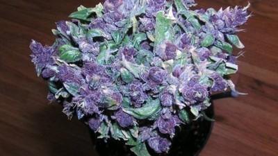 La ciencia detrás de la mariguana púrpura y de otros colores