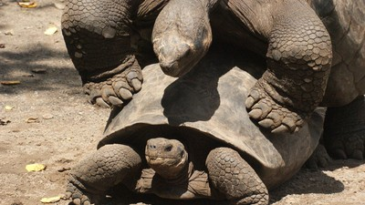 How One Highly Fuckable Tortoise Saved His Entire Species from Extinction