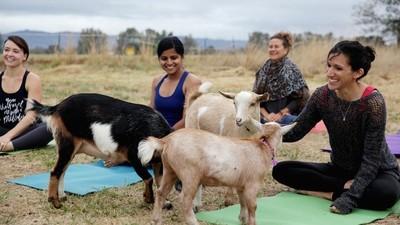 Jeg tog til yogaundervisning med dværggeder