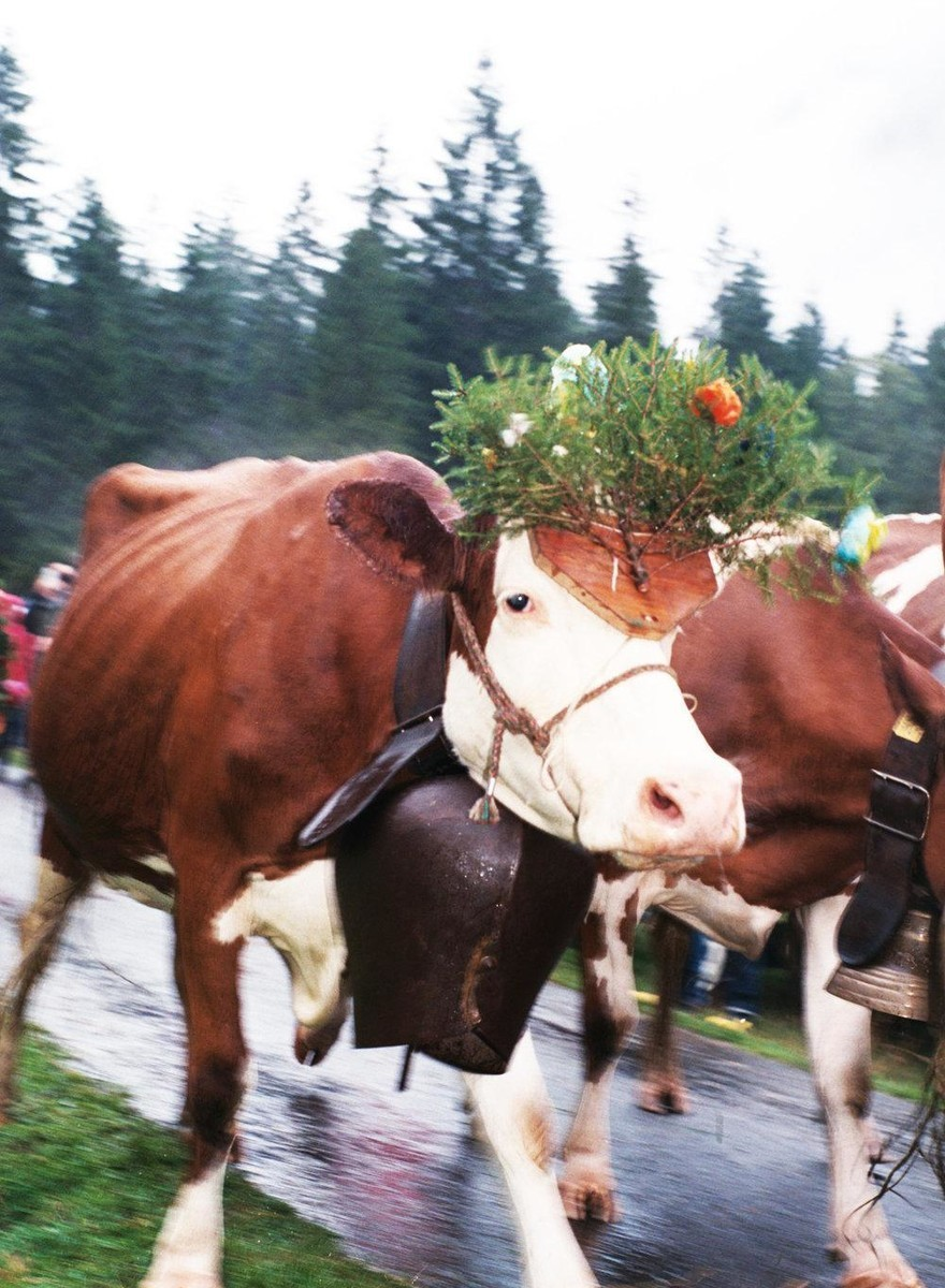 Swiss Cows Know How to Party