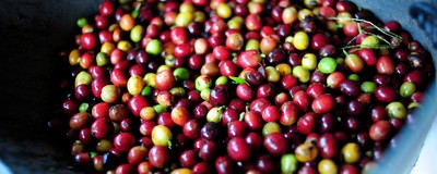 What Would Happen if the Coffee Plant Went Extinct?