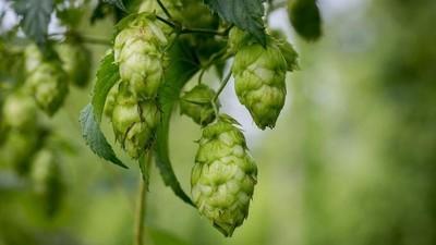 Je lever zal je bedanken voor het drinken van bier met hop