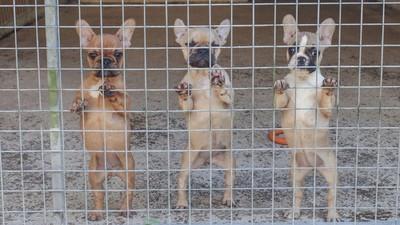 Inside the Cruel Black Market for Designer Dogs