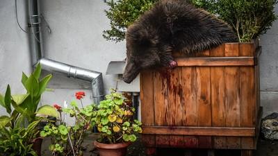 Tot ce trebuie să știi despre suspiciunile din cazul ursului ucis în centrul Sibiului