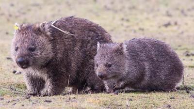 A Deadly Parasite Outbreak Is Killing Off Australian Wombats
