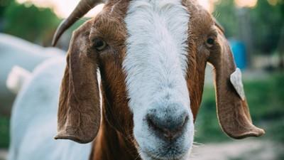 In een nieuw tv-format moeten BN'ers vrienden worden met een geit, en hem daarna opeten