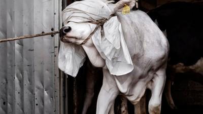 Tommaso Ausili ha fotografato quello che succede nei macelli italiani