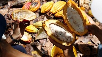 El cacao de los indígenas de la Sierra Nevada produce el mejor chocolate del mundo